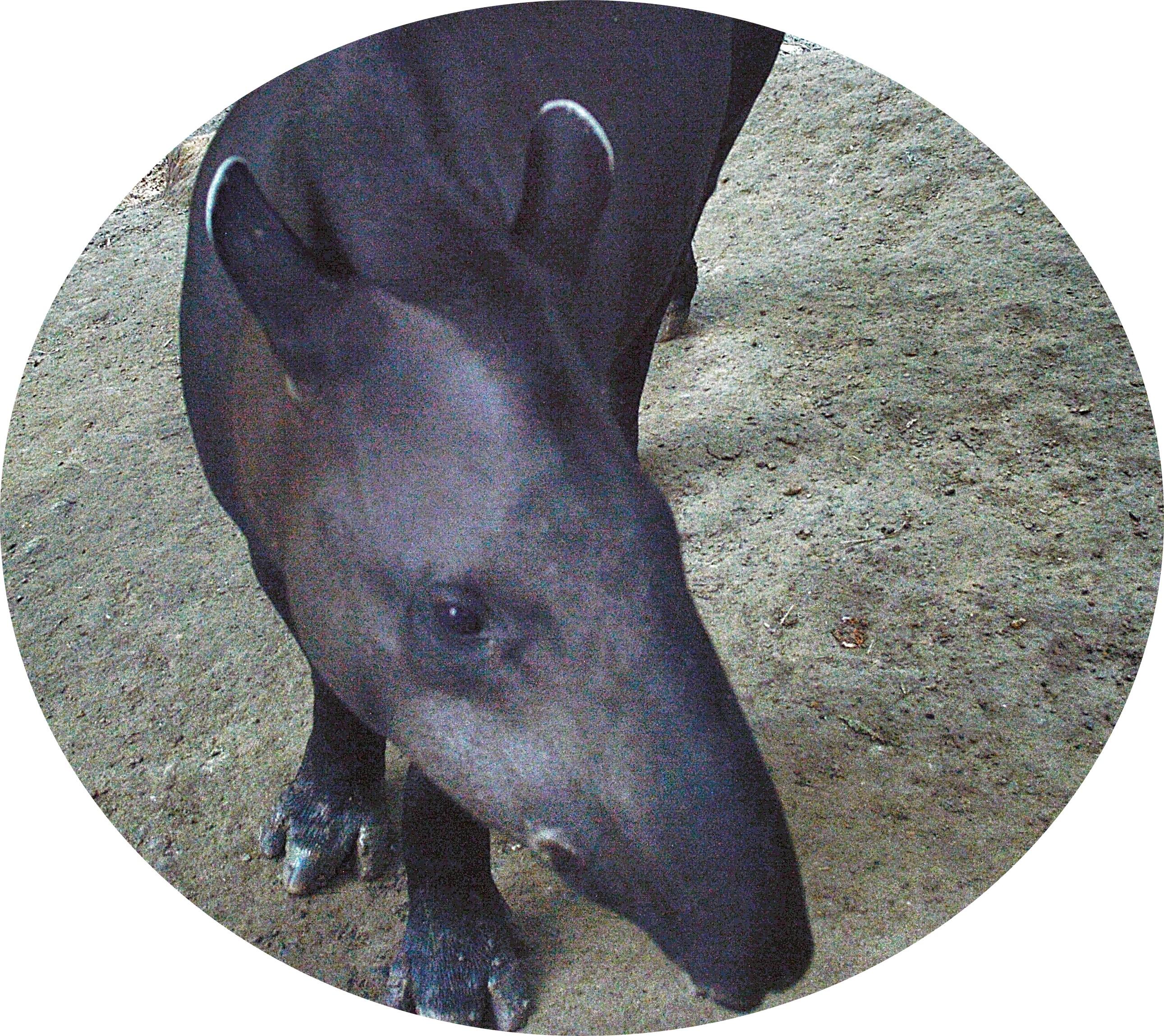 Mr Tapir