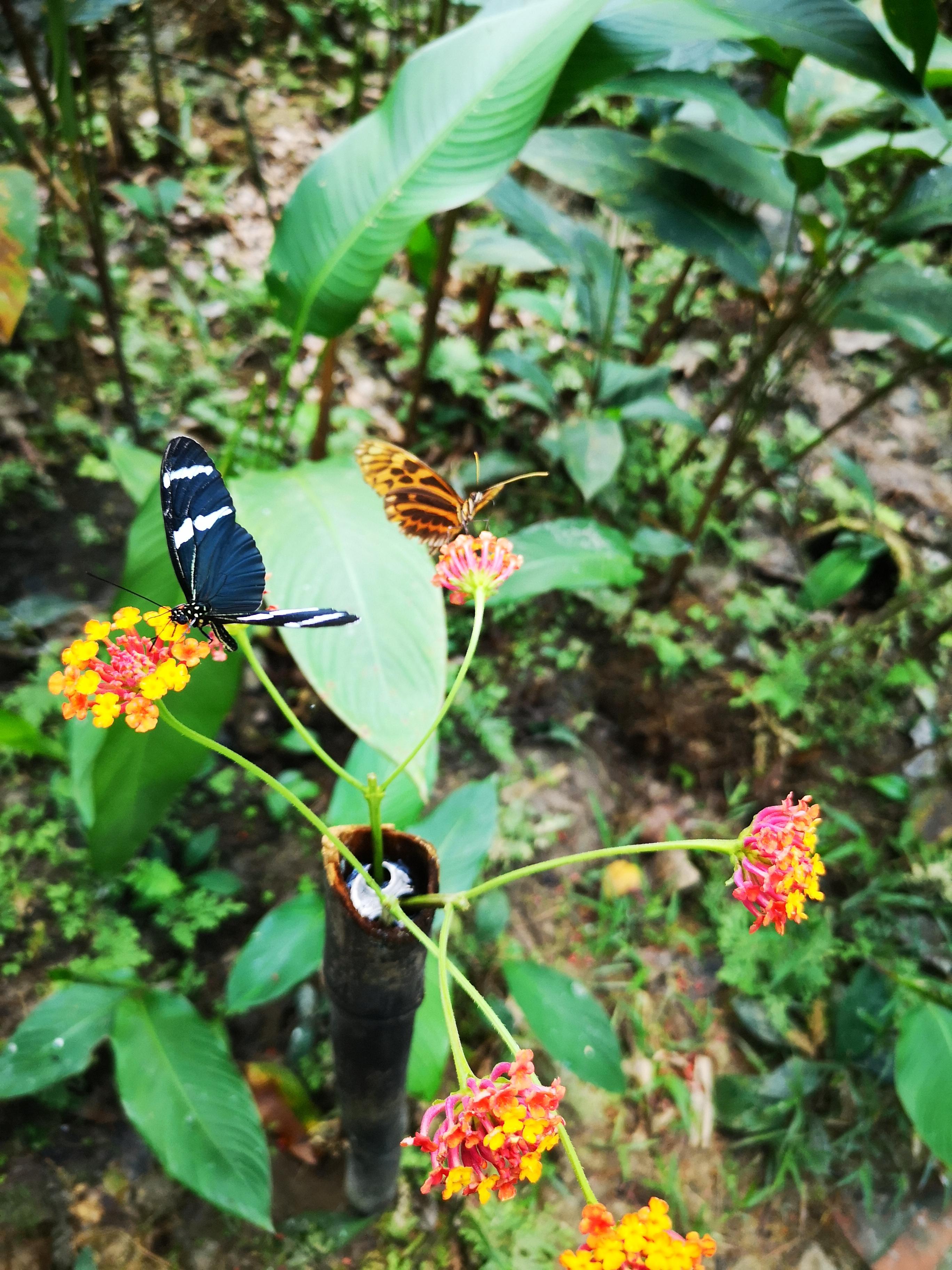 Mariposas en Pilpintuwasi